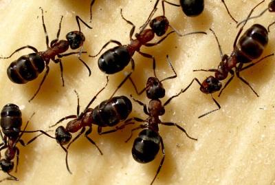 Дикие муравьи